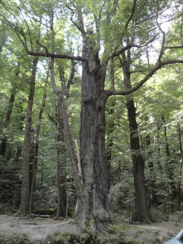 Barbol (Treebeard)